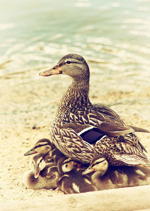 Mallard Greeting Card featuring the photograph A Family Affair by Karol Livote