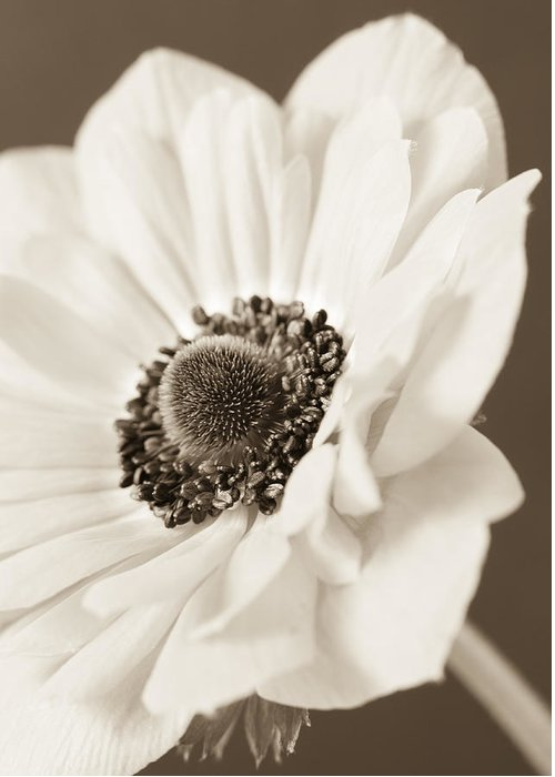 Anemone Greeting Card featuring the photograph A Focus On The Details by Caitlyn Grasso