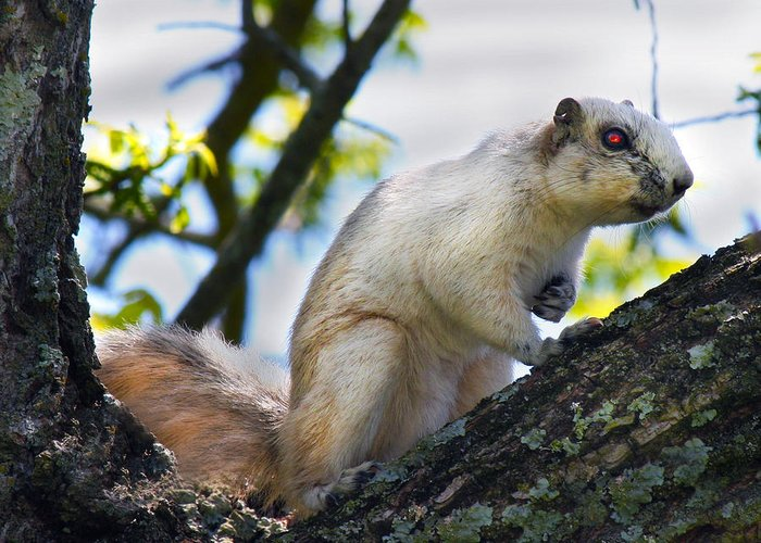 Fox Greeting Card featuring the photograph A Fox Squirrel Pauses by Betsy Knapp