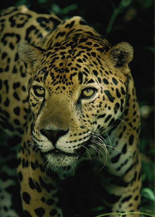 jaguars Greeting Card featuring the photograph A Jaguar On The Prowl by Steve Winter