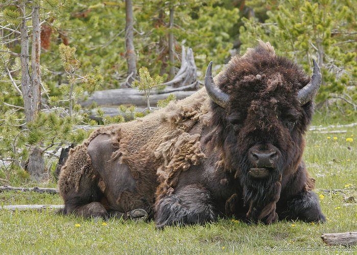 Buffalo Greeting Card featuring the photograph A Lot Of Bull by Charles Warren