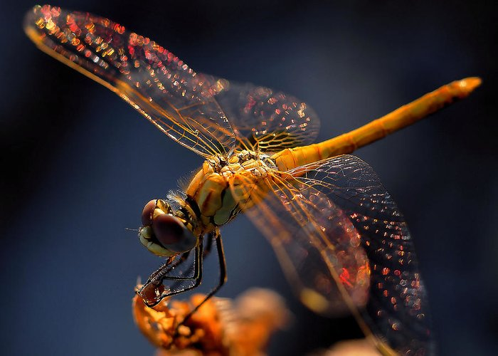 Dragonfly Macro Greeting Cards