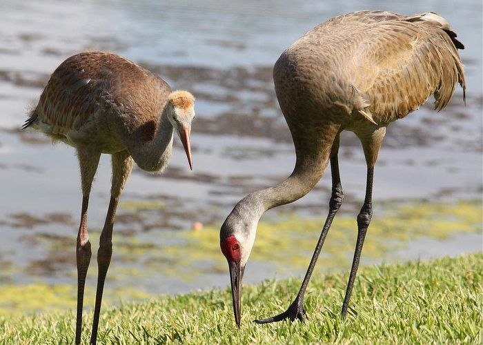 Sandhill Cranes Greeting Card featuring the photograph A Mother's Lesson by Carol Groenen