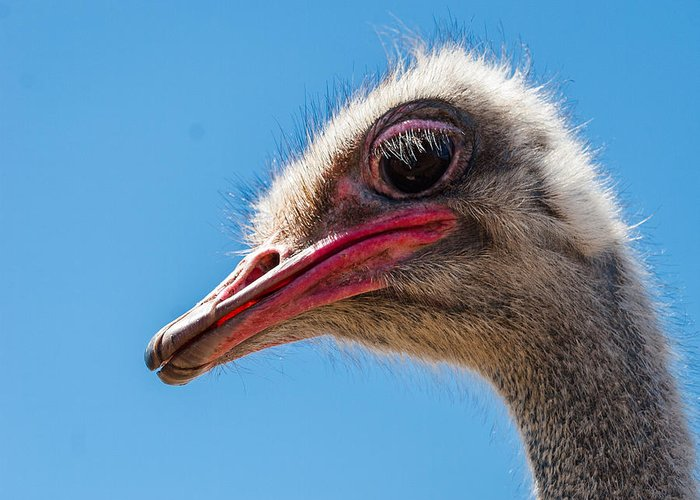 Ostrich Greeting Card featuring the photograph A Mug Only A Mother Could Love. by Jean Noren