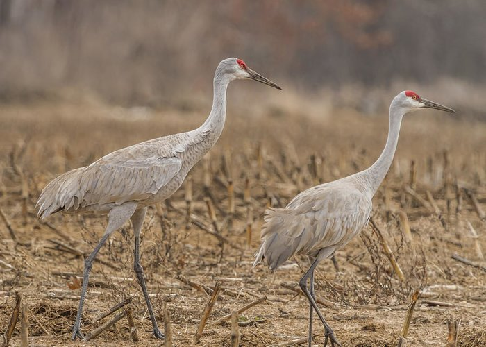 Courting Sandhill Cranes Greeting Card featuring the photograph A Pair Of Sandhill Cranes 2014-1 by Thomas Young