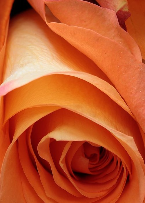 Rose Greeting Card featuring the photograph A Pareo Rose by Joe Kozlowski