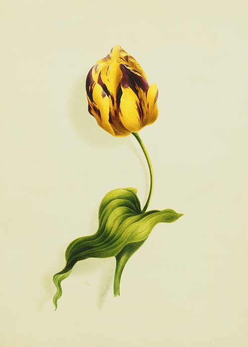 Biology Greeting Card featuring the painting A Parrot Tulip by James Holland