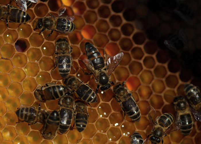Worker Bees Greeting Card featuring the photograph A Queen Bee Walks In The Center by Chico Sanchez
