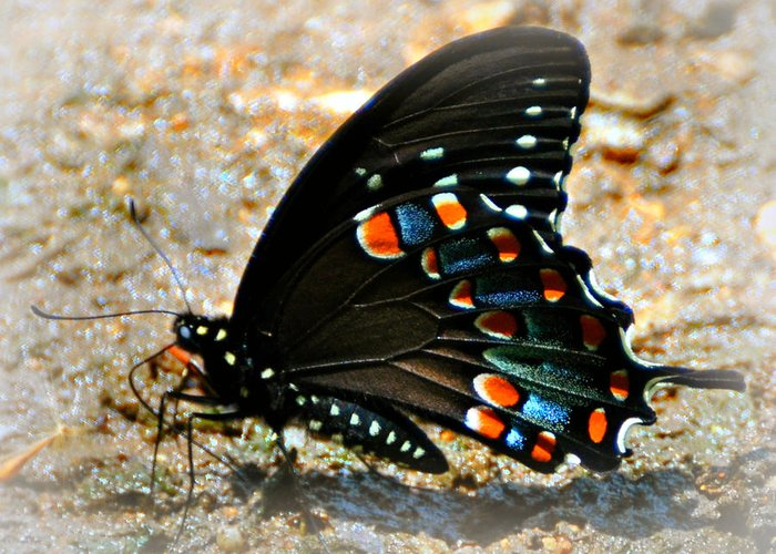 Butterfly Greeting Card featuring the photograph A Real Beauty by Marty Koch