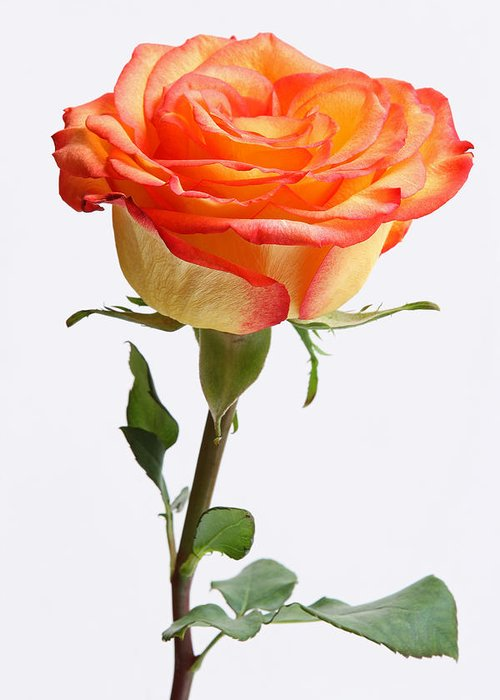 Rose Greeting Card featuring the photograph A Rose Is A Rose Is A Rose by Juergen Roth