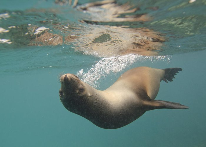 Sea Lions In The Ocean Greeting Cards