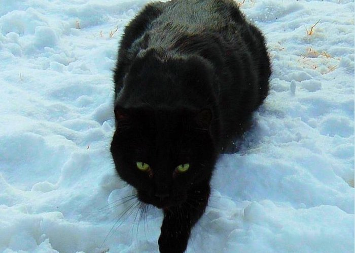 Cat Greeting Card featuring the photograph A Small Panther In The Snow by Cheryl Poland