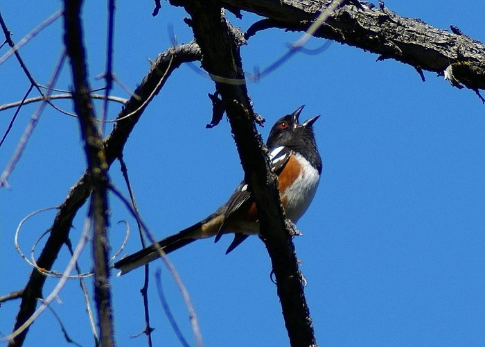 Birds Greeting Card featuring the photograph A Spotted Towhee mid-Song by Ben Upham III