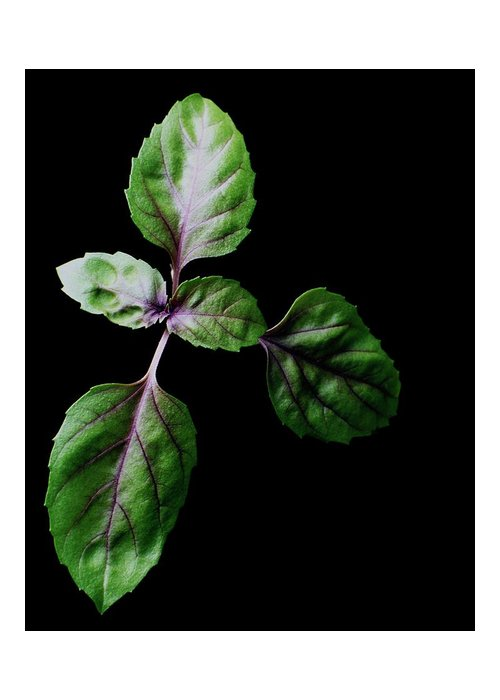 Herbs Greeting Card featuring the photograph A Sprig Of Basil by Romulo Yanes