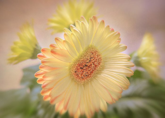 Flowers Canvas Greeting Card featuring the photograph A Touch Of Sunshine by Fiona Messenger