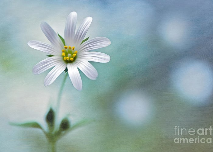 Greater Stitchwort Greeting Card featuring the photograph A Touch Of White by Jacky Parker