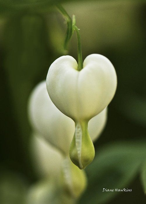 Plants Greeting Card featuring the photograph A White Heart by Diane Hawkins