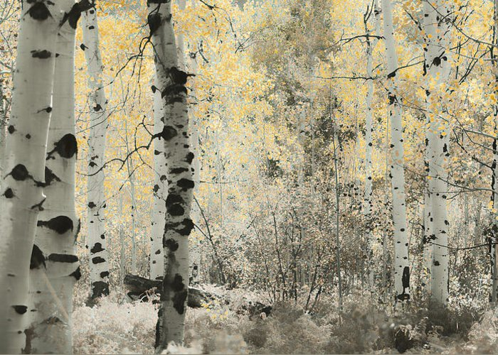 Aspens Greeting Card featuring the photograph A Wisp Of Gold by Don Schwartz