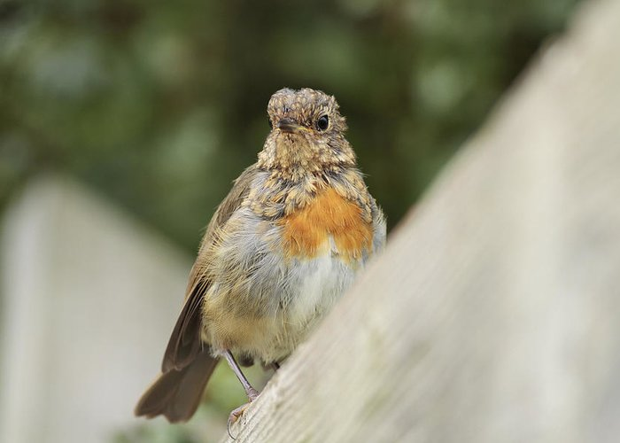 Robin Greeting Card featuring the photograph A Young Robin by Simon Gregory