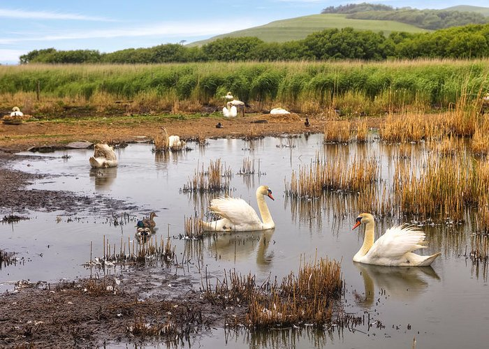 Swannery Greeting Card featuring the photograph Abbotsbury Swannery by Joana Kruse