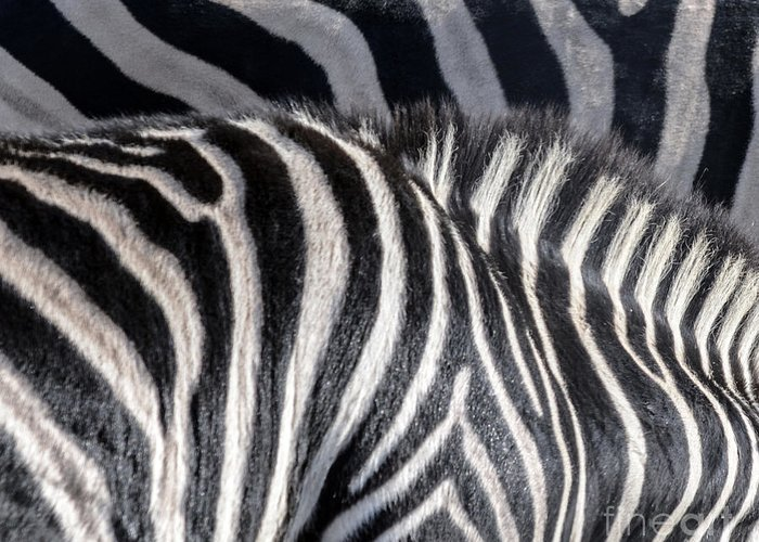 Zebras Greeting Card featuring the photograph Abstract Zebra by Aleksandar Mijatovic