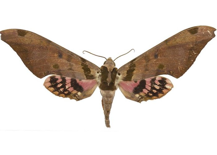 Entomology Greeting Card featuring the photograph Adhemarius Gannascus Moth by Science Photo Library