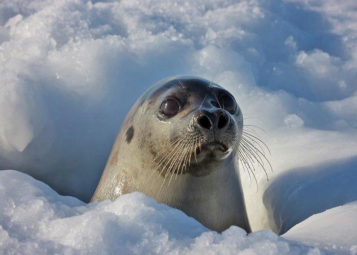 Adult harp seal — photo 5