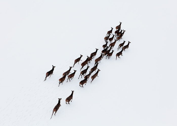 Scenics Greeting Card featuring the photograph Aerial Photo Of A Herd Of Deer Running by Dariuszpa