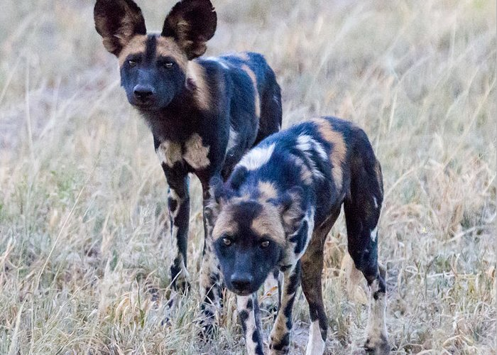 African Wild Dog Greeting Card featuring the photograph African Cape Hunting Dogs by Chris Scroggins
