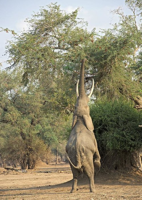 Africa Greeting Card featuring the photograph African Elephant Feeding From A Tree by Science Photo Library
