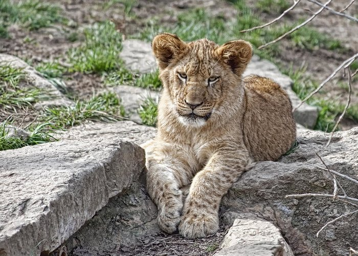 Lion Cub Greeting Card featuring the photograph African Lion Cub by Tom Mc Nemar