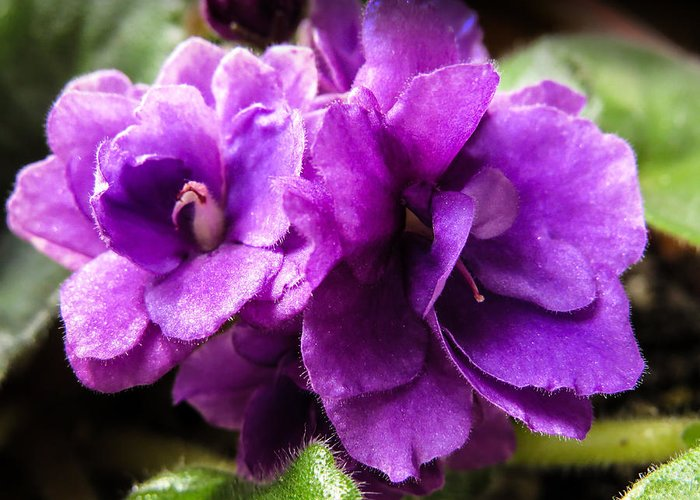 Saintpaulia Greeting Card featuring the photograph African Violet by Zina Stromberg