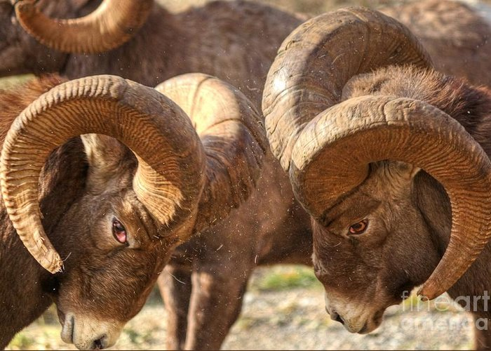 Bighorn Ram Greeting Card featuring the photograph After Impact by James Anderson