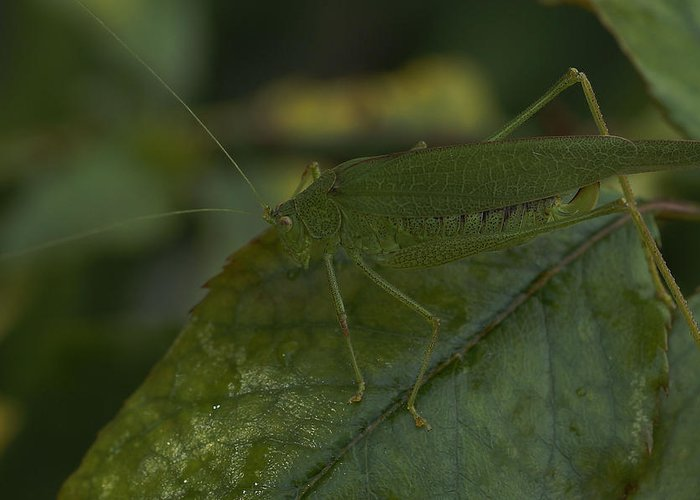 Grasshopper Greeting Card featuring the photograph After My Roses by Lorenzo Williams