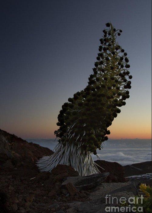 Aloha Greeting Card featuring the photograph Ahinahina - Silversword - Argyroxiphium Sandwicense - Summit Haleakala Maui Hawaii by Sharon Mau