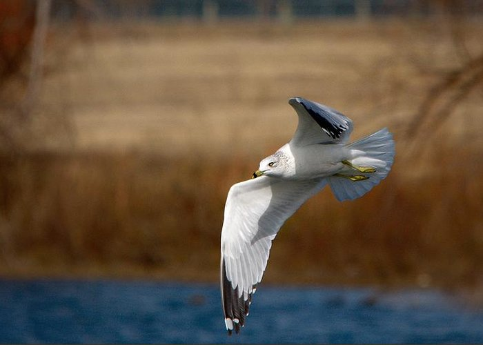 Roy Williams Greeting Card featuring the photograph Airborne Seagull Series 1 by Roy Williams