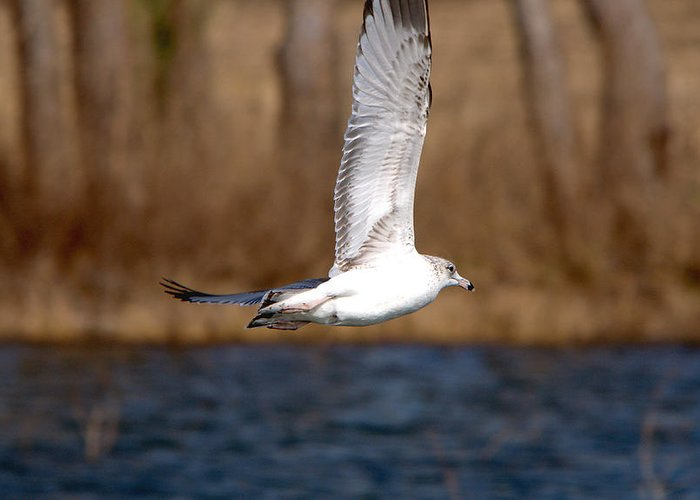 Roy Williams Greeting Card featuring the photograph Airborne Seagull Series 2 by Roy Williams