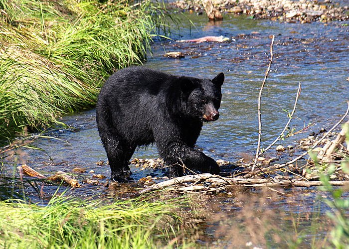 Bear Greeting Card featuring the photograph Alaskan Black Bear Hunting In A River by Jessica Foster