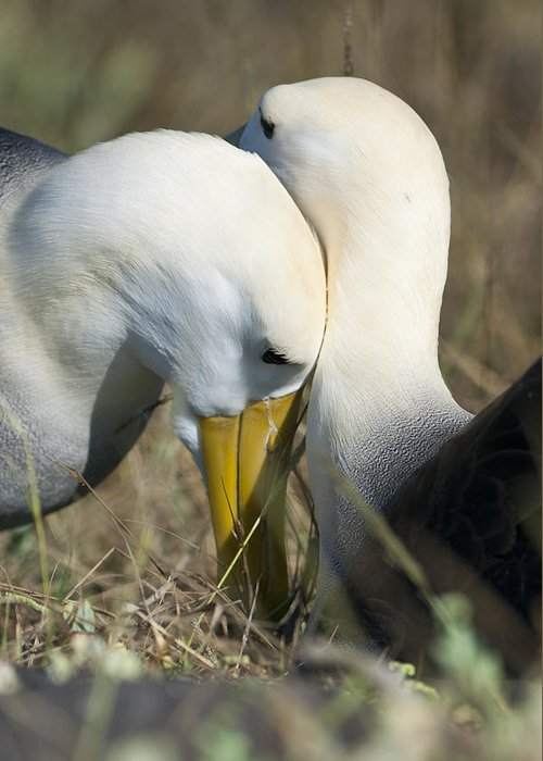 Waved Albatross Greeting Card featuring the photograph Albatrosses Snuggle by Richard Berry