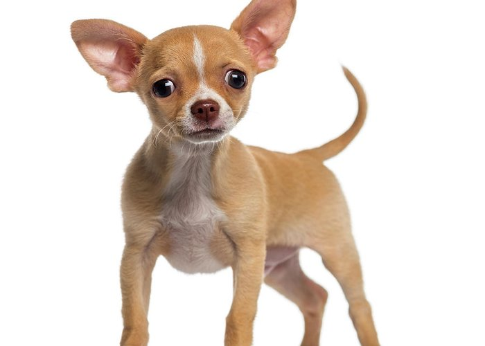 Pets Greeting Card featuring the photograph Alert Chihuahua Puppy 3 Months Old by Life On White
