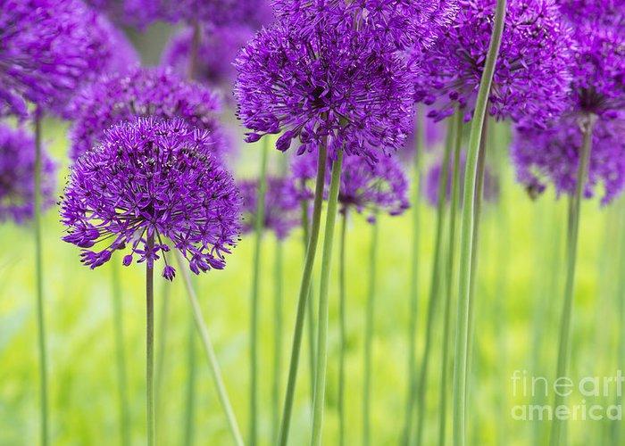 Allium Hollandicum Greeting Card featuring the photograph Allium Hollandicum Purple Sensation Flowers by Tim Gainey