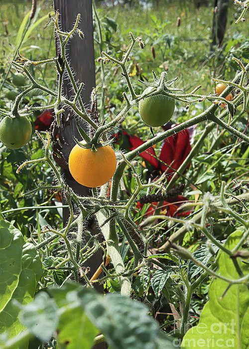 Tomato Greeting Card featuring the photograph Almost Harvest Time by Deborah Adkins