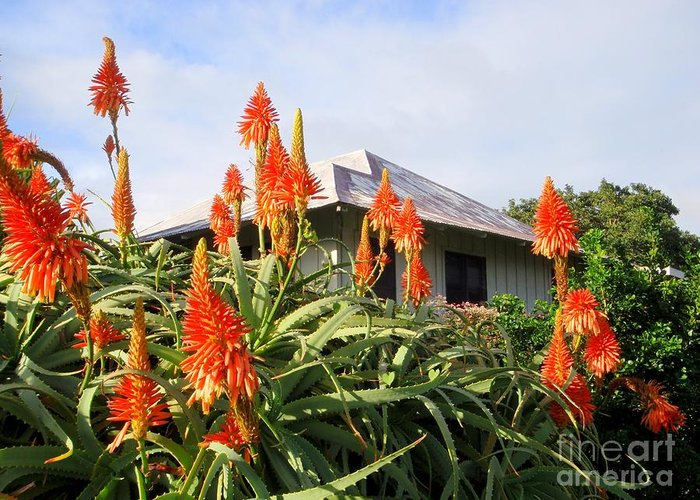 Aloe Vera Greeting Card featuring the photograph Aloe Vera And Tin Roof Plantation House by Mary Deal