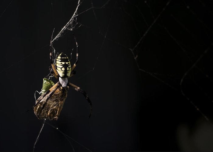 Argiope Aurantia Greeting Card featuring the photograph Along Came A Spider by Heather Applegate