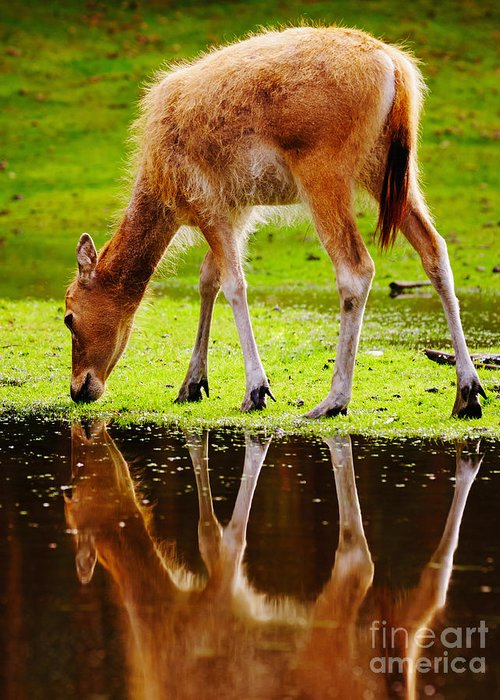 Grazing Greeting Card featuring the photograph Along The Water Grazing Pere David's Deer by Nick Biemans