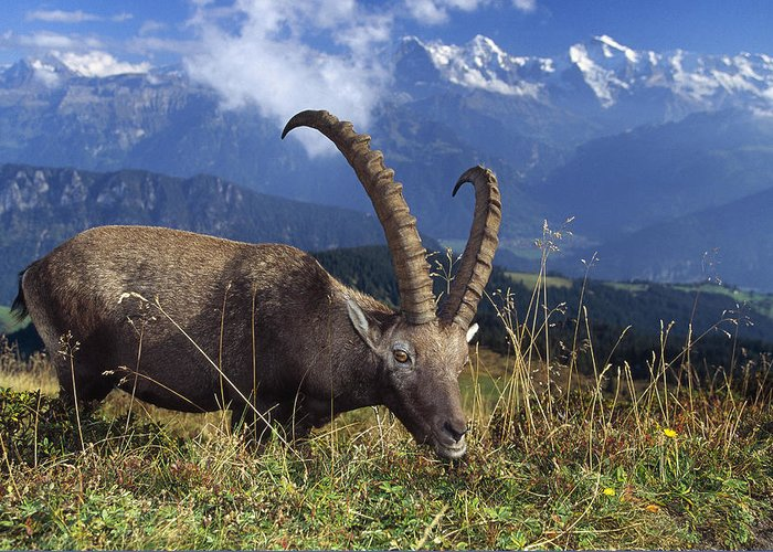 Alpine Ibex Greeting Card featuring the photograph Alpin Ibex Male Grazing by Konrad Wothe