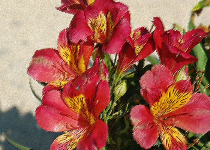 Alstroemeria Greeting Card featuring the photograph Alstroemeria In Pastel by Suzanne Gaff