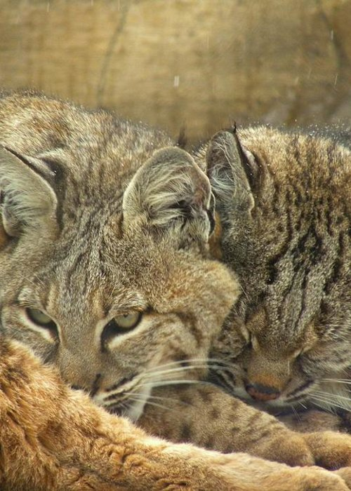 Bobcats Greeting Card featuring the photograph Always Watching by Teresa Schomig
