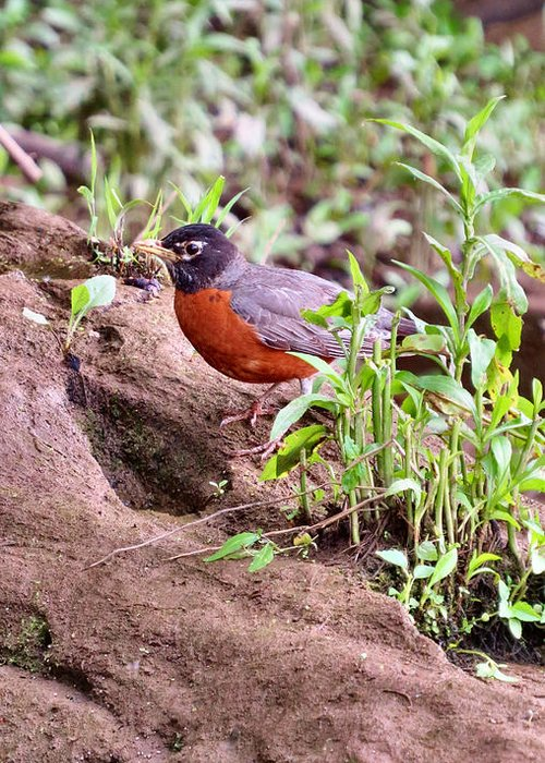 Bird Greeting Card featuring the photograph Am Robin by Art Dingo