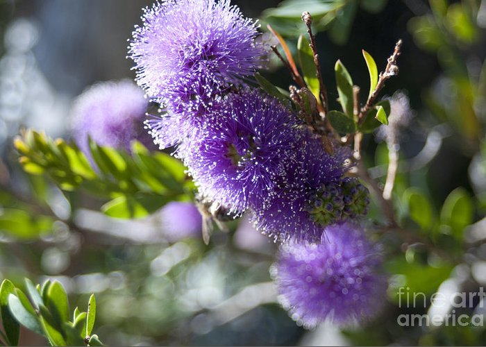 Floral Greeting Card featuring the photograph Amazing Purple Melaleuca by Haleh Mahbod